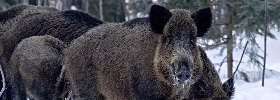 Годуновское Охотхозяйство Владимирской Области - Охота на лося